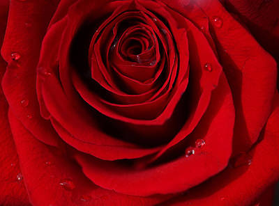 Photograph - Red Rose Of Love  by Sheila Kay McIntyre