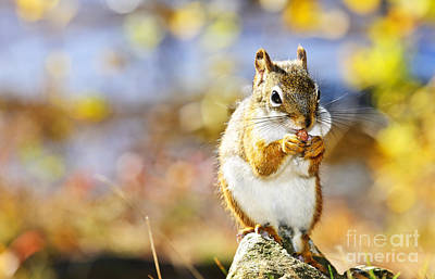 Fall Photograph - Red Squirrel by Elena Elisseeva