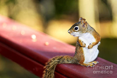 Red Squirrel On Railing Print by Elena Elisseeva