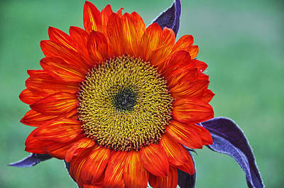 Red Sunflower  Art Print by Saija  Lehtonen