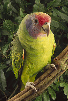 Red-tailed Amazon Amazona Brasiliensis Art Print by Claus Meyer