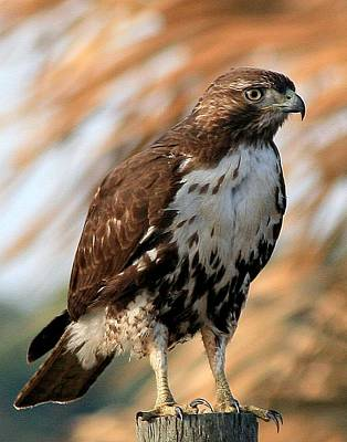 Photograph - Red Tailed Hawk by Ira Runyan