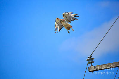 Telephone Poles Photograph - Red-tailed Hawk by Louise Heusinkveld