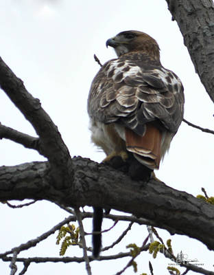 Photograph - Red-tailed Hawk by Ronald Grogan