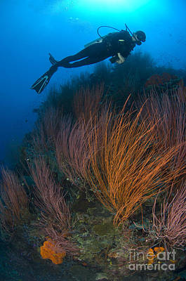 Photograph - Red Whip Fan Coral With Diver, Papua by Steve Jones