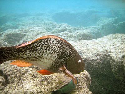 Parrotfish Photograph - Redlip Parrotfish by Michael Peychich
