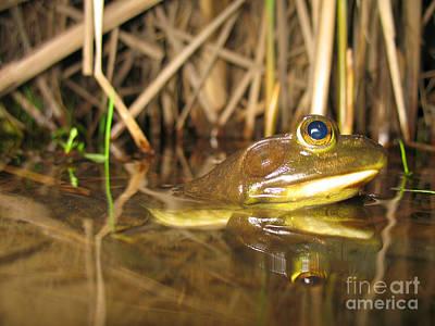 Resting Bullfrog Art Print by Ted Kinsman