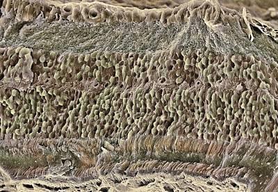 Retina, Sem Art Print by Steve Gschmeissner