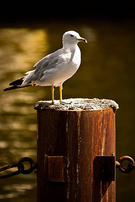 Photograph - Ring-billed Gull On Pillar by  Onyonet  Photo Studios