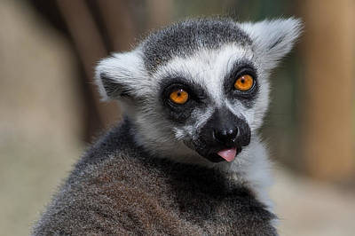 Ring-tailed Lemur Photograph - Ring Tailed Lemur by Julie L Hoddinott