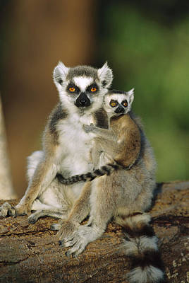 Photograph - Ring-tailed Lemur Mother And Baby by Cyril Ruoso