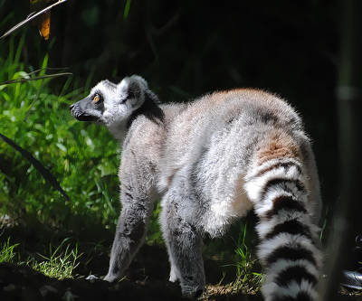 Photograph - Ring-tailed Lemur by Pamela Parton