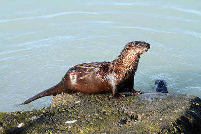 Photograph - River Otter by Doug Lloyd
