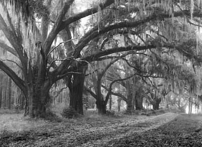 Photograph - Road Through The Ancient Oak Trees by Dan Wells