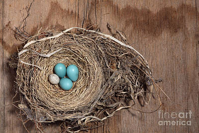 Robin Photograph - Robins Nest And Cowbird Egg by Ted Kinsman