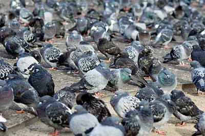 Rock Pigeons Art Print