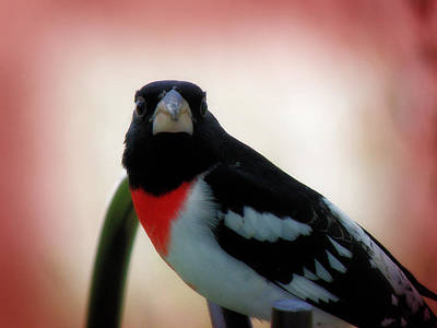 Photograph - Rose Breasted Grosbeak by Scott Hovind