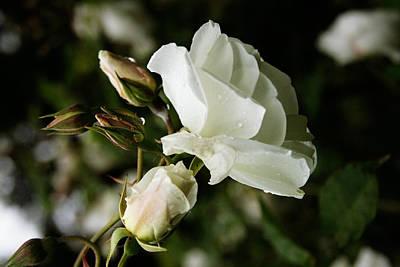 Photograph - White Rose by Masha Batkova