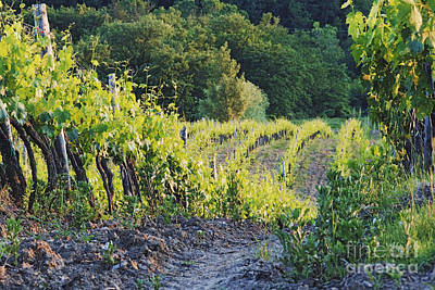 Chianti Vines Photograph - Rows Of Grapevines At Sunset by Jeremy Woodhouse