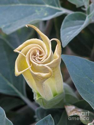 Photograph - Sacred Datura by Michele Penner
