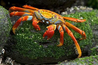 Sally Lightfoot Crab, Grapsus Grapsus Art Print by Tim Laman