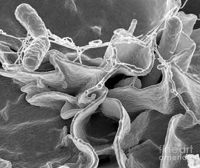 Microscopic Organism Photograph - Salmonella Bacteria, Sem by Science Source