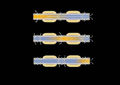 Ranvier Photograph - Saltatory Conduction Of Nerve Impulse by Francis Leroy, Biocosmos