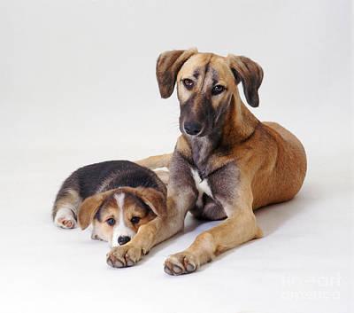 Lurcher Photograph - Saluki Lurcher And Welsh Corgi Puppy by Jane Burton