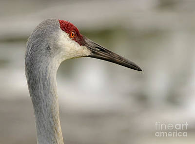 Photograph - Sandhill Crane by Nancy Greenland