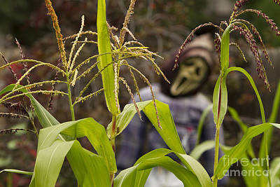 Photograph - Scarecrow In The Corn by James BO Insogna