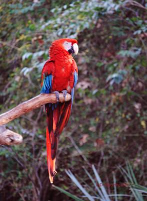 Scarlet Macaw Art Print by DiDi Higginbotham