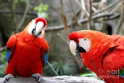 Colourfull Photograph - Scarlet Macaws by Henrik Lehnerer