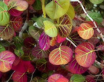 Grape Leaves Photograph - Sea Grape by Joseph G Holland