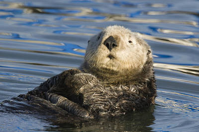 Sea Otter  Elkhorn Slough Monterey Bay Art Print