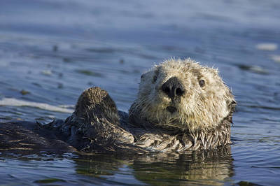 Sea Otter Monterey Bay California Art Print