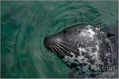 Photograph - Seal by Jorgen Norgaard