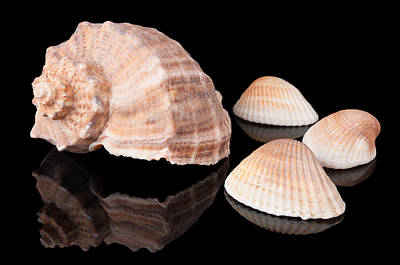Seashell Photograph - Seashells On Black by Konstantin Gushcha