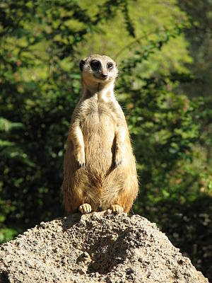 Art Print featuring the photograph Sentinel Meerkat by Carla Parris