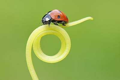 Tendrils Photograph - Seven Spot Ladybird On Tendril by Martin Ruegner