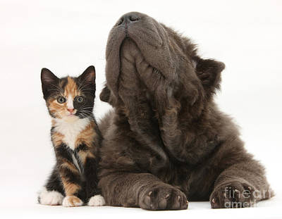 Of Calico Cat Photograph - Shar Pei Puppy And Tortoiseshell Kitten by Mark Taylor