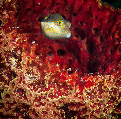 Porcupine Fish Photograph - Sharp Nosed Puffer by Jean Noren
