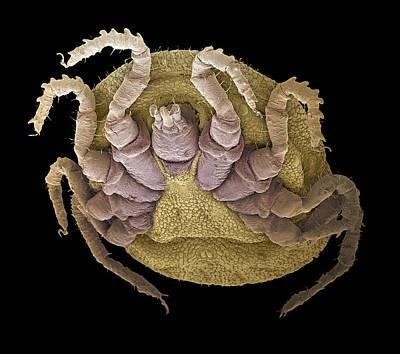 Sheep Tick, Sem Art Print by Steve Gschmeissner
