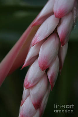 Photograph - Shell Ginger Alpinia Zerumbet Zingerberaceae Maui Hawaii by Sharon Mau