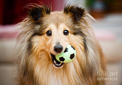 Photograph - Sheltie by Kati Finell