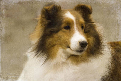Photograph - Sheltie by Rebecca Cozart