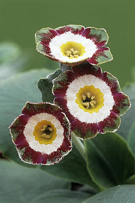 Show Auricula 'astolat' Flowers Art Print by Archie Young