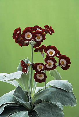 Auricula Photograph - Show Auricula 'headdress' Flowers by Archie Young