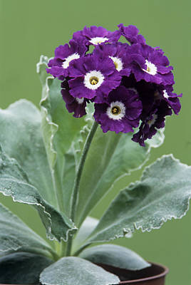 Auricula Photograph - Show Auricula 'purple Promise' Flowers by Archie Young