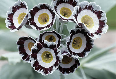 Auricula Photograph - Show Auricula 'star Wars No. 1' Flowers by Archie Young