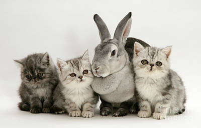 Silver Exotic Kittens And Silver Rex Art Print